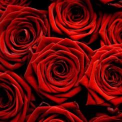 czerwone roze walentynki