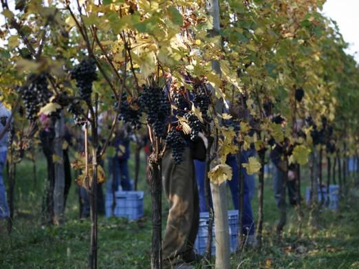 Le Due Terre Sacrisassi Schioppettino Colli Orientali del Friuli