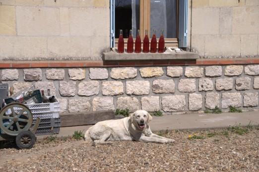 Laurent Herlin Bourgueil winery dog