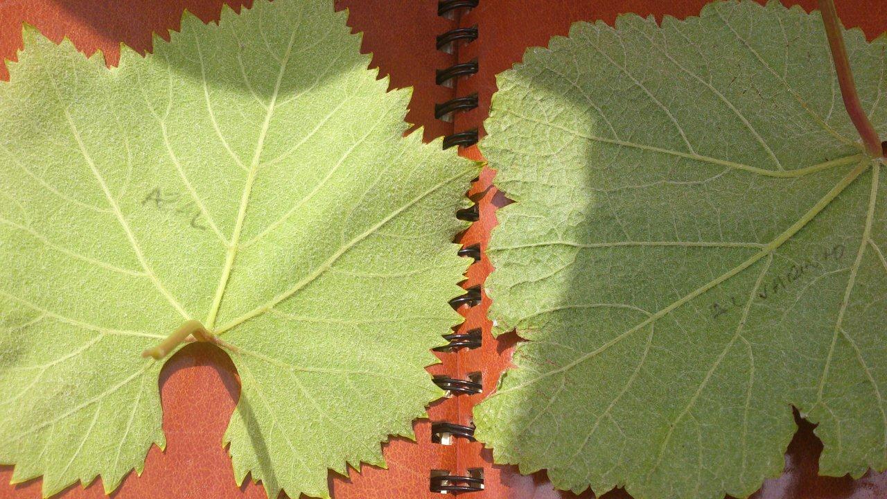 liście winorośli