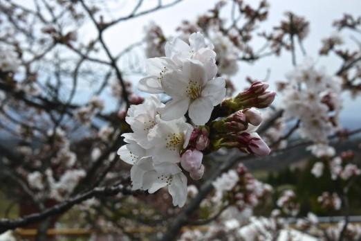 Sakura w rozkwicie. © Maciej Klimowicz.