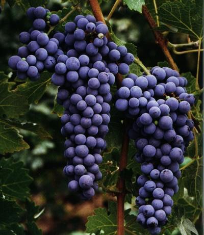 cabernet-sauvignon-03