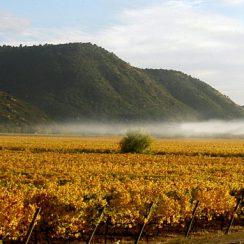 Winnice w dolinie Curico. © sanpedro.cl.