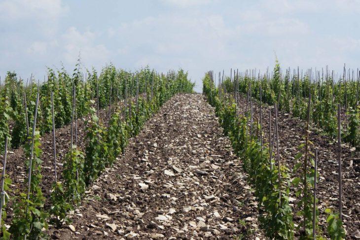 ...a tu jest kontynuowana - nowa winnica w Bliskowicach. © Winnica Solaris.