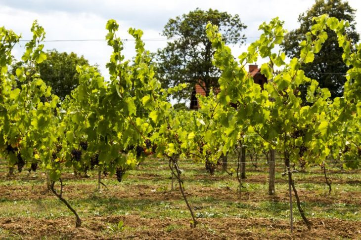 Czerwone odmiany winorośli. © Winnica Przy Talerzyku.