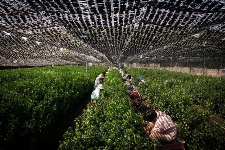 Zacienianie upraw stosuje się m.in. w produkcji herbaty. © Tea-of-japan.com.